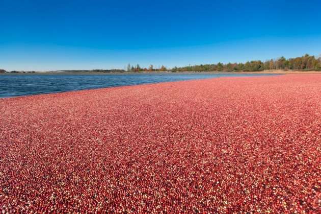 A flooded cranberry bed