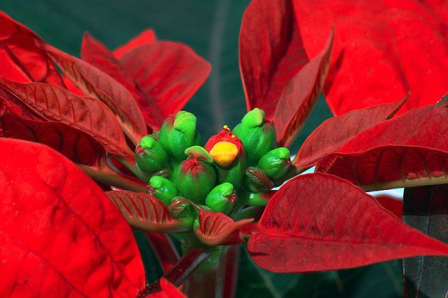 Close-up of a poinsettia