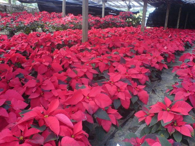 Poinsettia farm