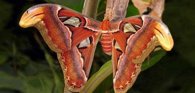 Attacus atlas: The world's largest moth