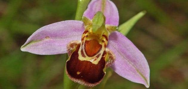 Ophrys apifera: The orchid that looks like a bee