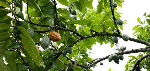Theobroma cacao: The chocolate tree