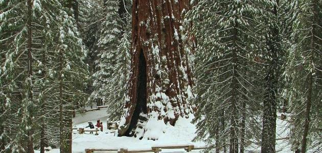 The California tree awards: Biggest, oldest and tallest