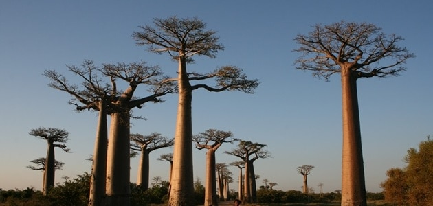 Baobabs: The world's fattest trees