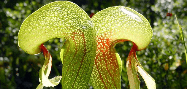 Cobra lily: The meat-eating plant that looks like a snake