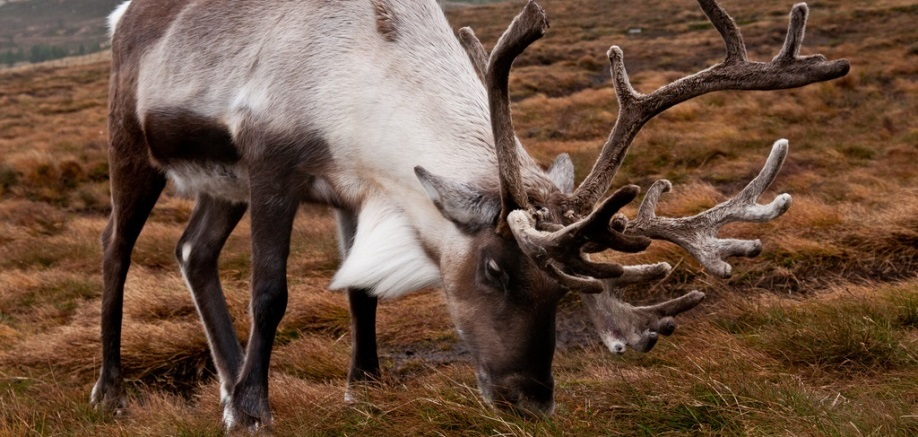 Not just for Christmas: 7 facts about reindeer