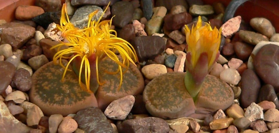 5 strange succulents that are worth a look