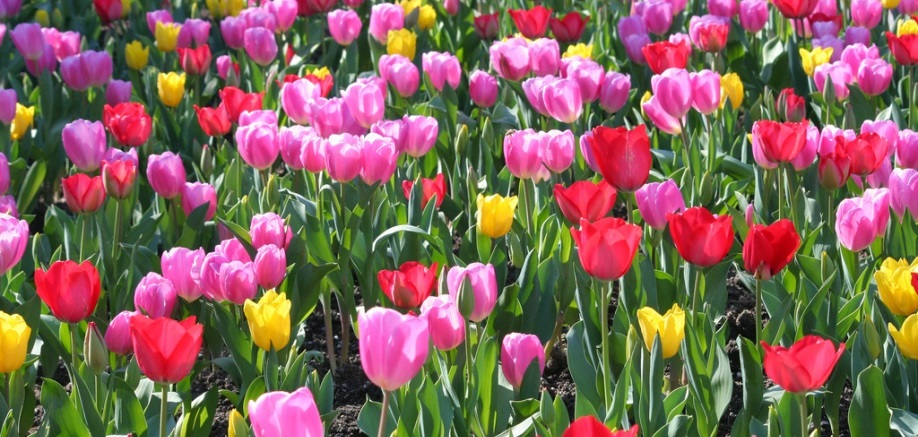 The Netherlands and the tulip: A true love story