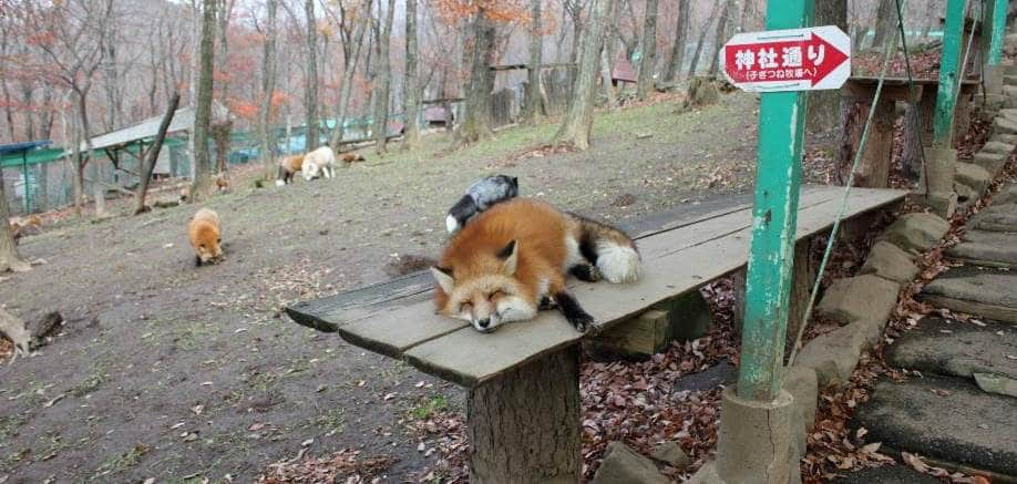 Zao Fox Village: The Japanese village that's overrun with, well, foxes!