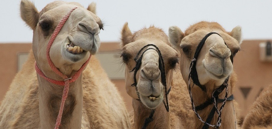 The UAE's beauty contest… for camels