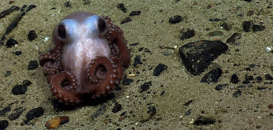 Ink-credible facts about squid and octopuses