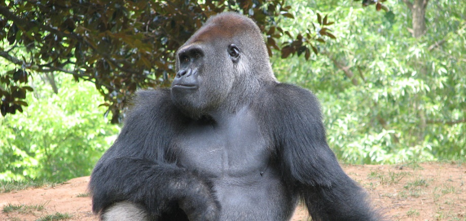 Great apes: What's so great about them?