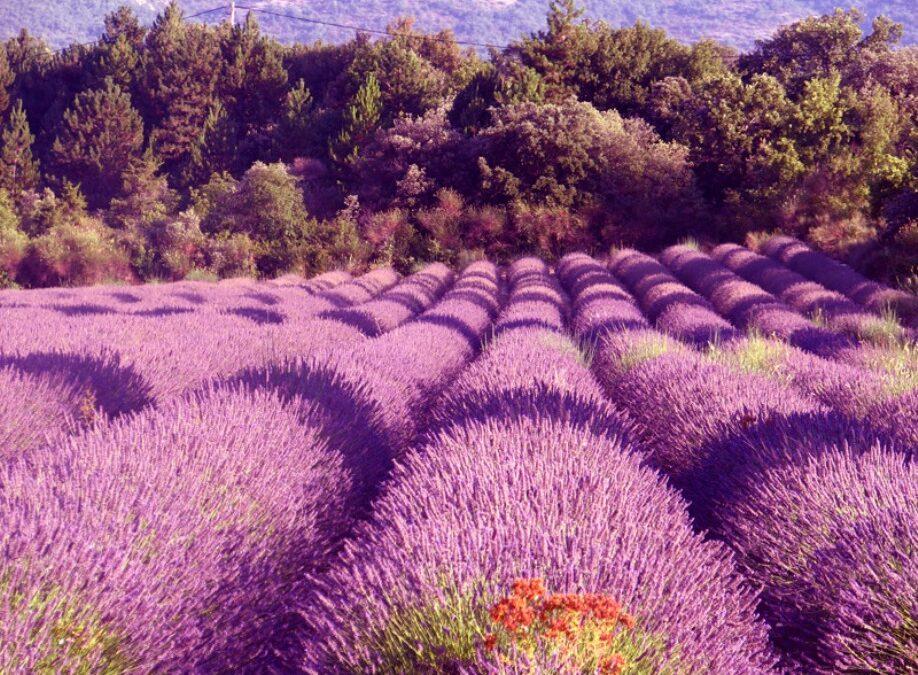 Flower fields from around the world