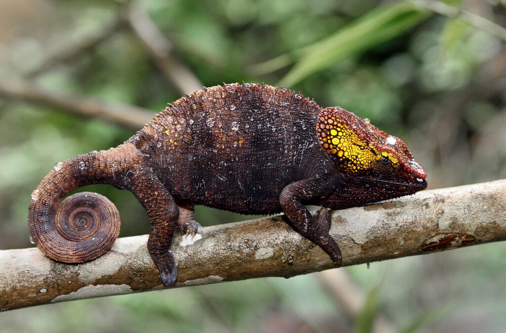 Chameleons: There's nothing that isn't weird about them