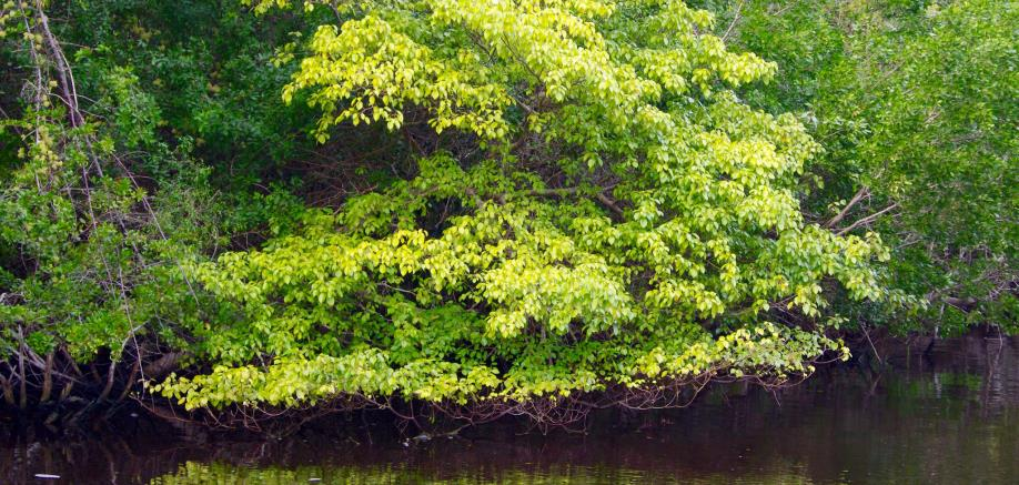Manchineel tree: The most dangerous tree in the world