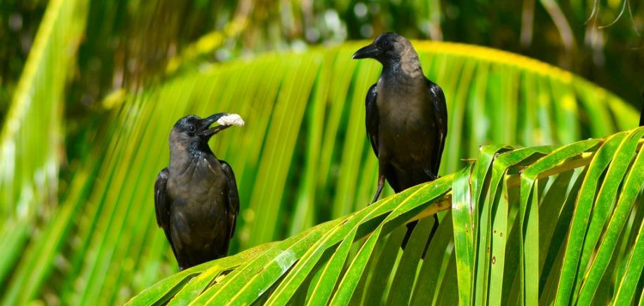 Caw blimey: Things you might not know about crows, ravens and magpies