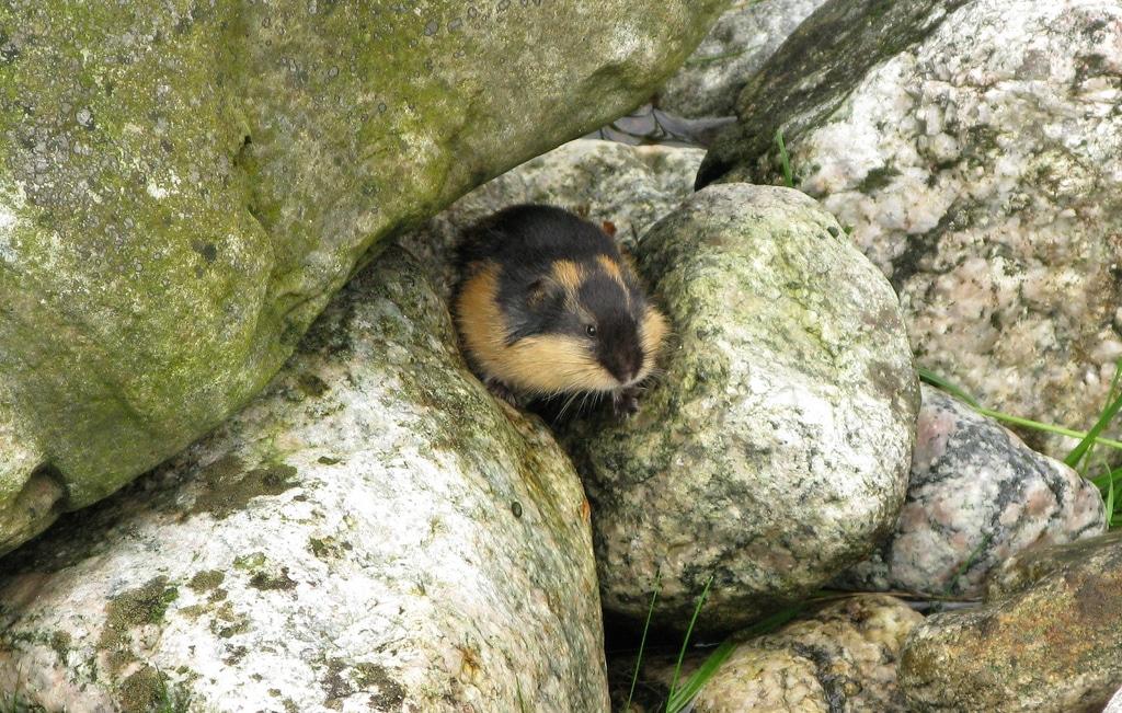 Lemmings: The world's most misunderstood rodent