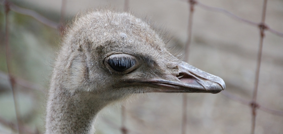 Ostriches: King of all the birds (even though they can't fly)