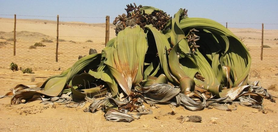 Welwitschia mirabilis: The world's toughest plant