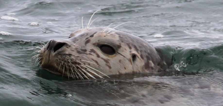 All about seals, sea lions and walruses